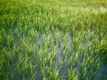 Rice fields paddy green farmer. Rice fields paddy green farmer royalty free stock image