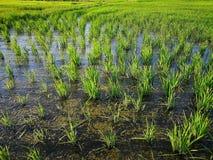 Rice fields paddy green farmer. Cof rice fields paddy green farmer royalty free stock photo