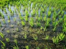 Rice fields paddy green farmer. Cof rice fields paddy green farmer royalty free stock photos