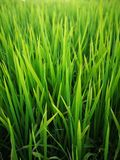 Rice fields paddy green farmer. royalty free stock photos
