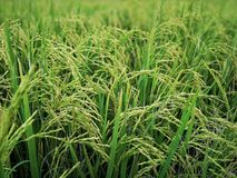 Rice fields paddy green farmer. stock photography