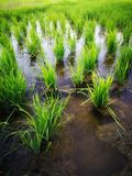 Rice fields paddy green farmer. stock image