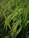 Rice fields paddy green farmer. Edf rice fields paddy green farmer stock photography