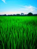 Rice fields paddy green farmer. royalty free stock photo