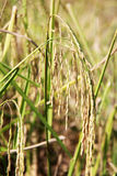 Rice fields. Paddy rice plant field Asian rice fields Royalty Free Stock Images