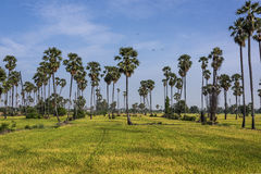 Rice fields and palm. Palm and rice filed at sunset Royalty Free Stock Images