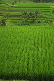 Rice fields and palm trees in Bali's island. It's a landscape of Bali island : beautiful terrace of ricefields and palms trees stock photography