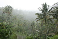 Rice fields and palm trees in foggy Bali Royalty Free Stock Photography