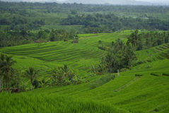 Rice fields and palm trees on the island of Bali. It's a typical landscape of Bali island : lots of terrace ricefields and palms trees royalty free stock photo