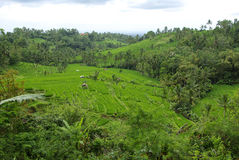 Rice fields and palm trees on the island of Bali. It's a typical landscape of Bali island : lots of terrace ricefields and palms trees stock image
