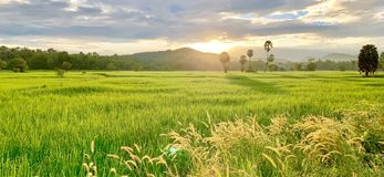 Rice fields and peasant lifestyle royalty free stock photos
