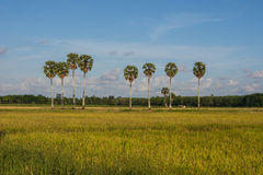 Rice fields and plam trees. Landscape of plam tree and rice fields in countryside Thailand Stock Photography
