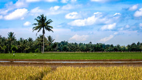 Rice fields with planting. At various stages and palm trees in the background Stock Images
