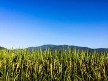 Rice fields. Rice is ready for harvest Stock Photography