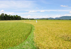Rice fields ready harvesting in Phuket, Thailand Stock Photography