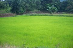 In the rice fields. Rice with fresh green. Are the grains of ric Royalty Free Stock Photo