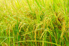 Rice fields or rice paddies stalks of rice Royalty Free Stock Photos