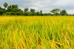 Rice fields or rice paddies stalks of rice Stock Images