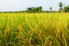 Rice fields or rice paddies stalks of rice Royalty Free Stock Images