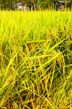 Rice fields or rice paddies stalks of rice Stock Photo