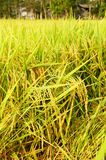 Rice fields or rice paddies stalks of rice Royalty Free Stock Image