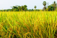 Rice fields or rice paddies stalks of rice Stock Image