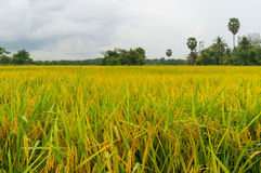 Rice fields or rice paddies stalks of rice yellow Stock Photography