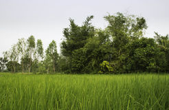 Rice and Fields Royalty Free Stock Photo