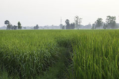 Rice and Fields Stock Images