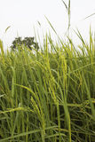 Rice and Fields Royalty Free Stock Photography