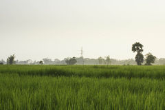 Rice and Fields Royalty Free Stock Images