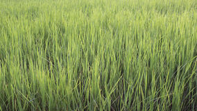 Rice and Fields Royalty Free Stock Photos