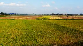 The rice fields are ripe during the harvest season stock photo