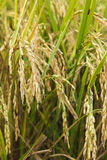 Rice fields with ripe spikes Stock Photography