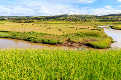 Rice fields and river in African landscape Royalty Free Stock Photos
