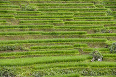 Rice fields of Sa Pa in Vietnam Stock Photos