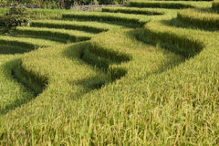 Rice fields in sapa in vietnam Royalty Free Stock Photo