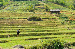 Rice fields in Sapa, Vietnam Stock Image