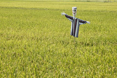 Rice fields with scarecrow Royalty Free Stock Photography