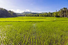 Rice Fields Siquijor Philippines. Green rice fields near village of Maria, Siquijor Island, Central Visayas, Philippines stock image