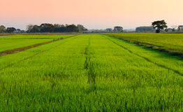 Rice fields Stock Photography