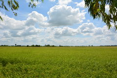 Rice fields sky. And The tree Royalty Free Stock Image