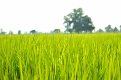 Rice fields soft focus abstract style. Natural background blurred Stock Images