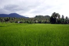 Rice fields in Sorsogon. Photo of Rice fields in Sorsogon in the Bicol region of the Philippines in Asia royalty free stock photo