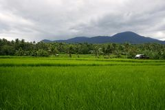Rice fields in Sorsogon. Photo of Rice fields in Sorsogon in the Bicol region of the Philippines in Asia stock photo