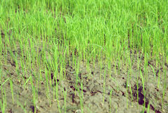 Rice in fields. Rice sow in fields. Rice germinate in fields royalty free stock images