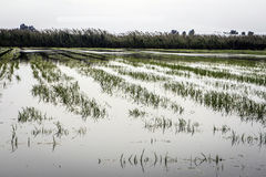 Rice fields in Spain. Royalty Free Stock Image