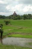 Rice fields of Sri Lanka royalty free stock image