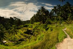 Rice fields and stone roads. Ubud, Bali, Indonesia. royalty free stock images