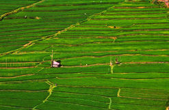 Rice fields structured in terracces Stock Photo